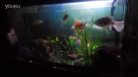 自己家养的金鱼