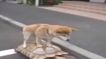 """狗狗搭""""乌龟""""顺风车"""