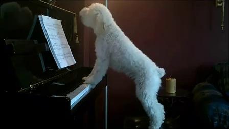 搞笑动物!狗狗钢琴弹唱