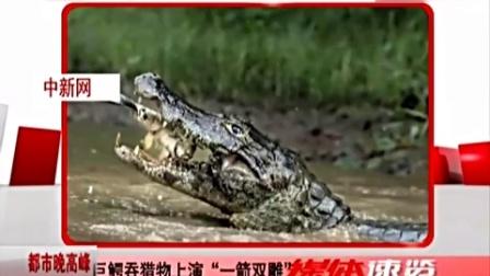 巨鳄破水而出吞猎物上演一箭双雕