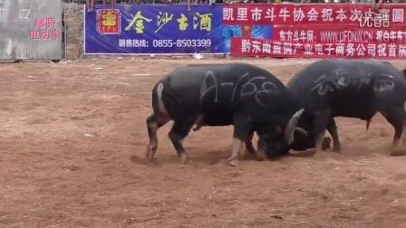 斗牛-中国凯里首届东方牛王争霸赛A组斗牛大赛全纪录!20万