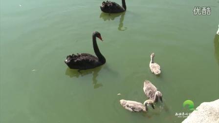 动物也直播 黑天鹅的一家
