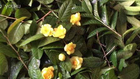 防普金花茶叶多少钱一斤 金花茶叶的功效与作用 防普金花茶的叶片图片
