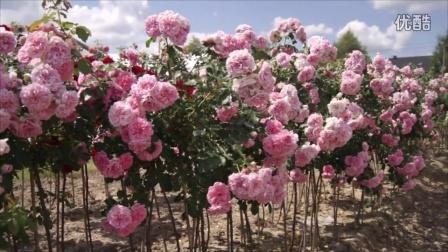 国外的树月季Róża  'Uetersens Rosenprinzessin'®