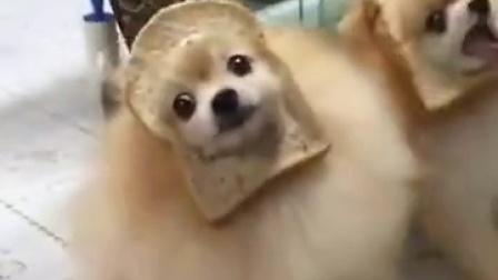 主人把汪星人偷吃的吐司套在了头上,这难道就是传说中的我好方??