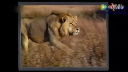 狮子大战猎豹:求偶惨剧   动物世界  纪录片  人与自然  奇闻