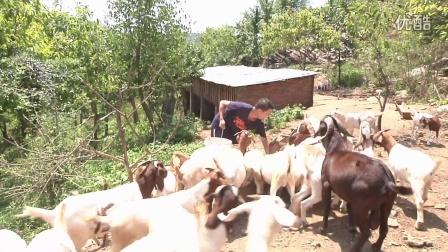 强微技术发酵豆渣养羊案例