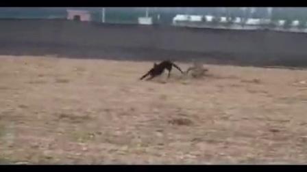2016中国猎兔第一期:芜湖哪里有卖打场格力犬的