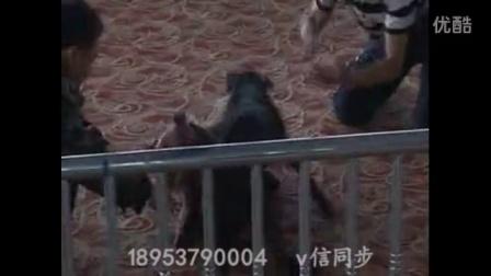 比特犬哪里有卖的,比特犬幼犬多少钱一只  龙岩市比特精神!!!