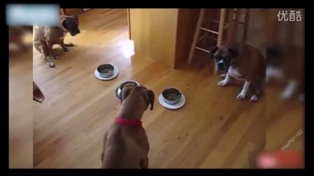 国外训练最有素质的狗狗