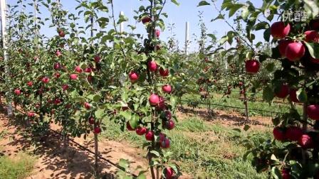 莫迪苹果种植第二年亩产量达1吨