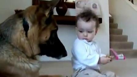 【冯导】小宝宝突然伸手抢走狗粮害大家都担心德国狼狗的反应