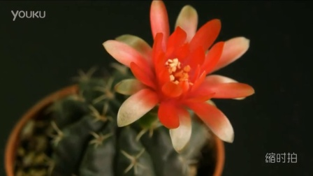 仙人掌的花2