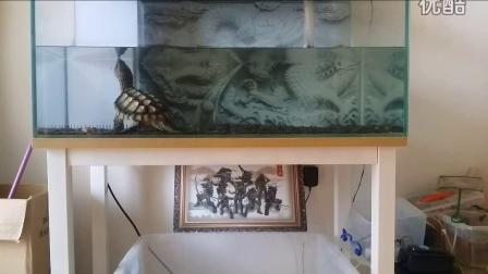 混血兽,真拟鳄龟国庆喂食