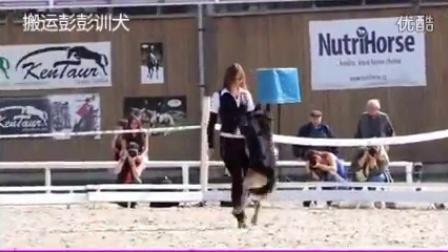 德国牧羊犬花式服从表演