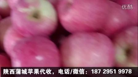 代收红富士苹果,陕西苹果代办_陕西蒲城苹果