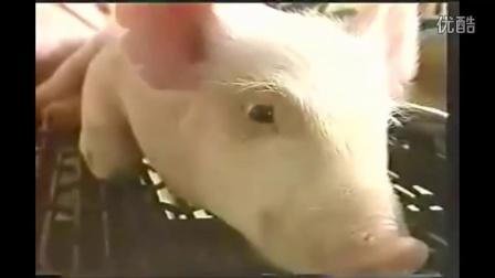 养猪设备发酵床养猪技术北滘专业养猪技术教程,仔猪管理19