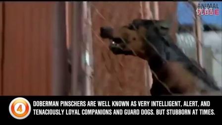 警用最多的十种犬