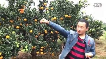 天然果粒橙 爱媛38号