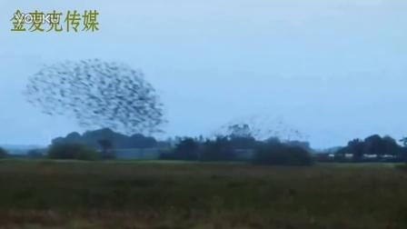 百万椋鸟迁徙 气势恢宏如移动的'黑太阳'