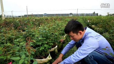 天狼说月季---秋季修剪后的施肥、不同肥料的使用
