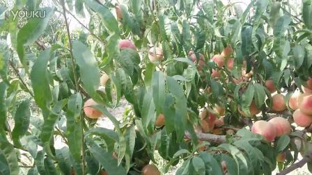 伽师蜜桃 (这是农民的绿色产品、大家想吃蜜桃到夏普吐勒镇)