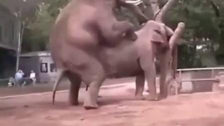 【不要看,太污了】大象憋不住了,果然霸道