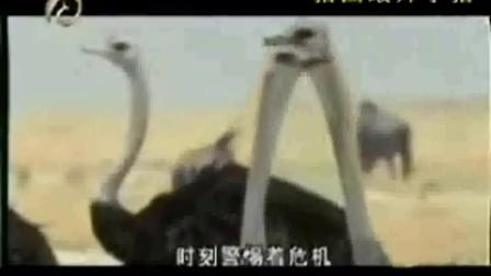 动物世界艺术字图片_超强鸵鸟追杀豺狗_标清pb0_动物世界里为王打一肖