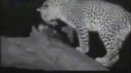 小科的动物世界全集高清繁殖_豹子杀死母猴后侍养小猴子_标清st0_动物世界是不是13频道