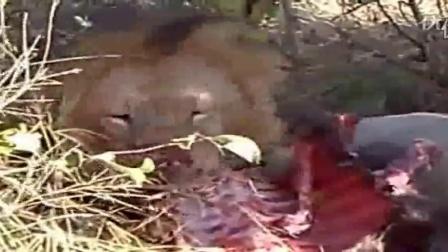 动物世界老虎扑食图片。_动物世界北极熊吃海象_动物世界之老鹰