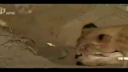 动物世界之百灵鸟_动物世界狮子王争霸视频_动物世界小金龟图片