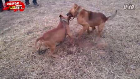 比特斗犬大战乡村土狗,毫无悬念的被土狗虐败!太特么丢人了!