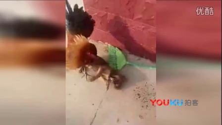 【拍客】实拍公鸡大战小狗 真的吓尿了