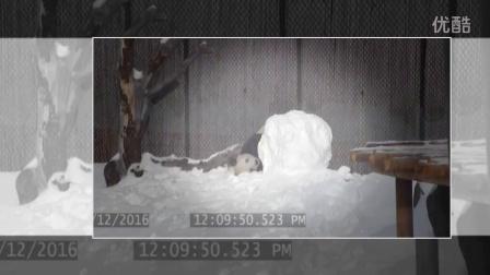 呆萌大熊猫玩雪人 外国网友:暖化了