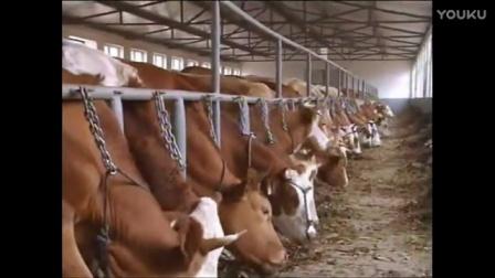 西门塔尔牛 肉牛 养殖技术
