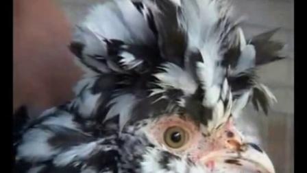 贵妃鸡养殖技术 贵妃鸡苗 贵妃鸡的饲养