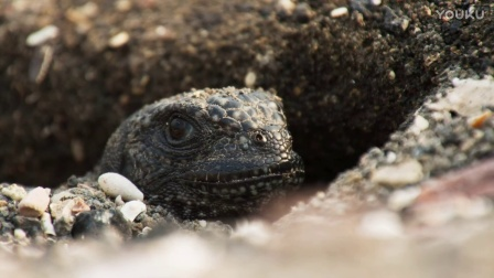 地球脉动II片花:群蛇捕食鬣蜥宝宝