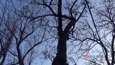 【拍客】你见过龙模样的疙瘩树吗?