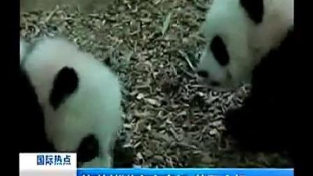 旅美熊猫宝宝亮相萌翻全场