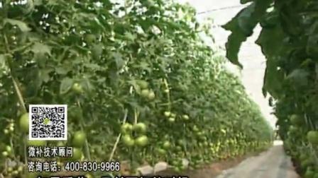 20170102珠江台摇钱树:番茄脐腐病、裂果、抗冻如何做?浇施微补根力钙+精力,叶喷微