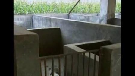 怎么养猪赚钱巴马香猪的猪舍建设与饲料选择