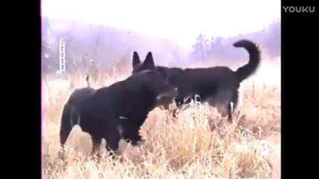 狗界的霸主 实拍主人想让罗威纳与德牧交配,结果它俩的反应亮了