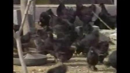 农村养殖好项目,黑凤乌鸡商品鸡的饲养管理技术