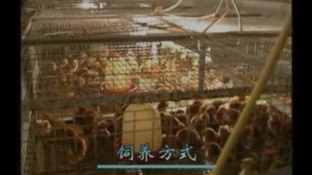 小投资养殖项目,土鸡养殖技术养殖场的建设