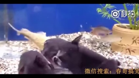 卧槽!就这么生吞了,简直是鱼里的蟒蛇啊,好担心肚子撑破