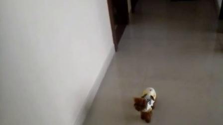 我的母贵宾犬就像跟屁虫,我出入房间和上厕所她都跟着
