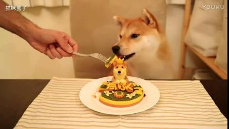 狗狗:小柴犬两周岁生日 主人精心准备了超萌蛋糕