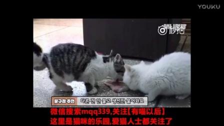 韩国一家超市喂养的一只流浪猫妈妈一家,猫妈妈每天都会去隔壁店铺要吃的,然后叼回来