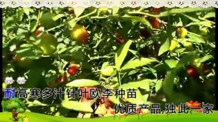 钙果品种针叶果树苗木欧李种植