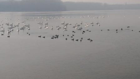 三门峡天鹅湖近距离拍摄白天鹅之白毛浮绿水 2017.2.3